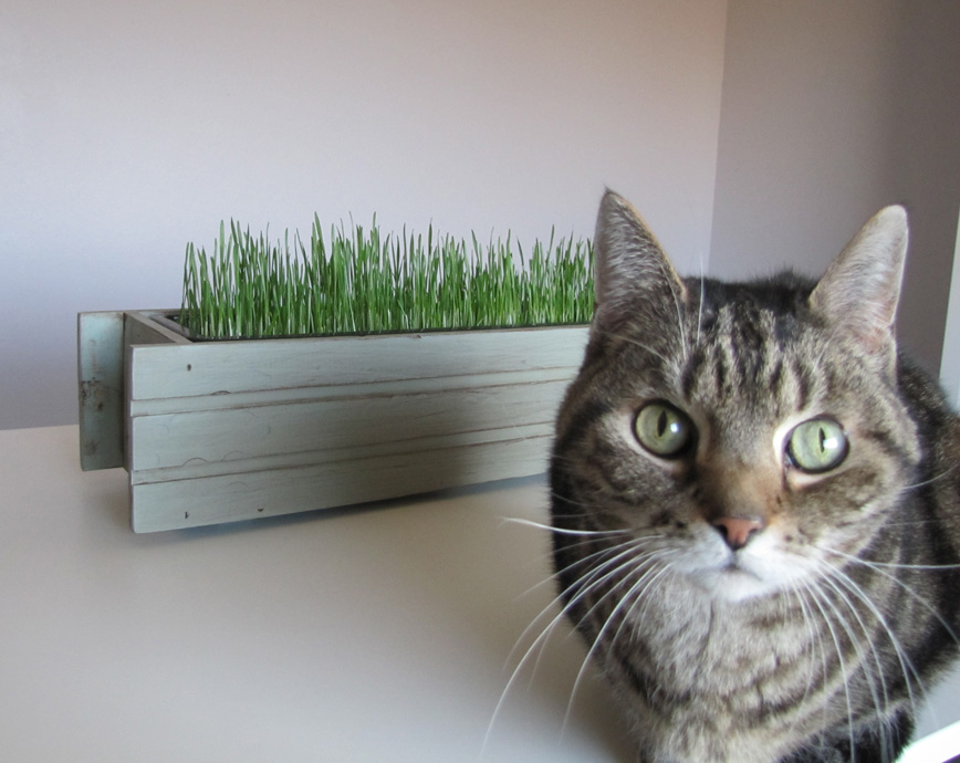 Cat Eats Grass And Vomits
